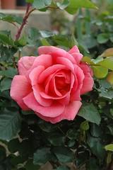 Auguri OLGA ( Jedidi ).. (virgiliomulas.) Tags: salute rosa maddalena di gian fiore per compleanno amicizia regalo grazie questo giardino auguri gioia vito abbraccio scatto felicit ogliastra caso