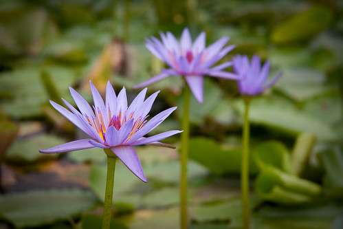 Blue Lotus Water Garden (11)