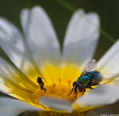 Mosca Azul 1 (Daniel Jesus Navas Montero) Tags: naturaleza flower macro nature bug insect fly nikon flor bicho mosca insecto d60 dnavas