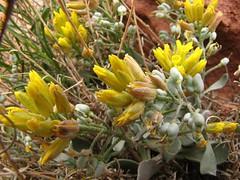 Canyonland flowers-3