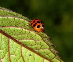 Ladybug on a Leaf (KoolPix) Tags: macro nature insect leaf ladybug koolpix dailynaturetnc10 lifetnc10 dailynaturetnc13 wcswebsite photocontesttnc14 dailynaturetnc14