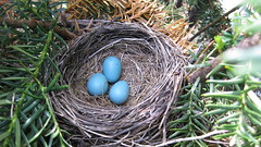 Spring Has Sprong! (A-Cre8tive-lady) Tags: 3 tree nest great eggs what find