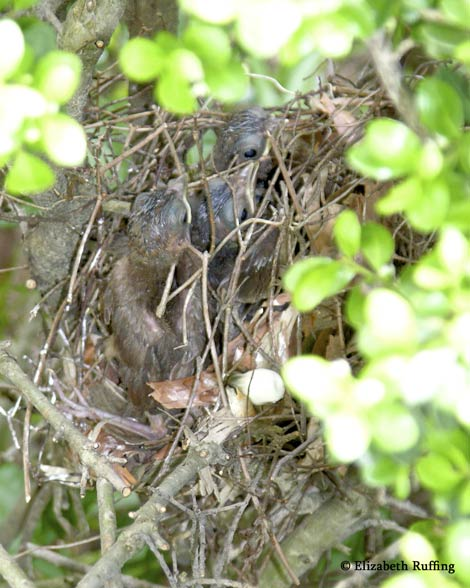 Baby Cardinals in their nest