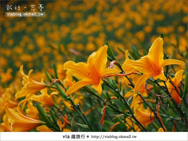 【台中休閒農場】2010金針花~新社沐心泉金針花8