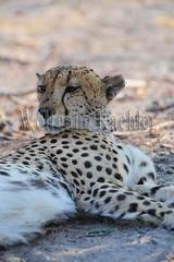 10066136 (wolfgangkaehler) Tags: africa male cat mammal african wildlife cheetah botswana predator okavango predatory okavangodelta vumburacamp inlanddelta