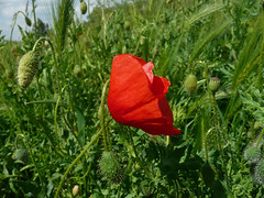 One year ago, poppy (Iva Tanackovi) Tags: flowers red flower green spring map poppy crveno zeleno cvet cvee prolee cvetovi