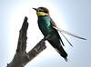 A bee eater with a broken fither (PhotoGrapherQ80 «KWS») Tags: birds kuwait adel abdeen