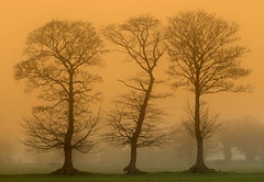 3 trees (Shahid A Khan) Tags: trees orange nature photography three nikon flickr forsale shot cheshire image picture warmth pic images shahid sigma1850f28 nikond300 thesecretlifeoftrees sakhan shahidakhan sakhanphotography