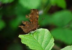 Male Comma (Mark Watson (kalimistuk)) Tags: green turn butterfly bug insect lumix leaf wings ripped panasonic faded g1 damaged dmc comma polygoniacalbum 45200mm