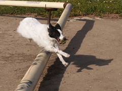Jumping: Border collie style (ZebsterBC) Tags: dog white ball jump bordercollie zeb