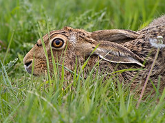 Hare with a low profile (Andrew Haynes Wildlife Images) Tags: eye nature grass mammal hare wildlife rutland rutlandwater egleton canon7d ajh2008