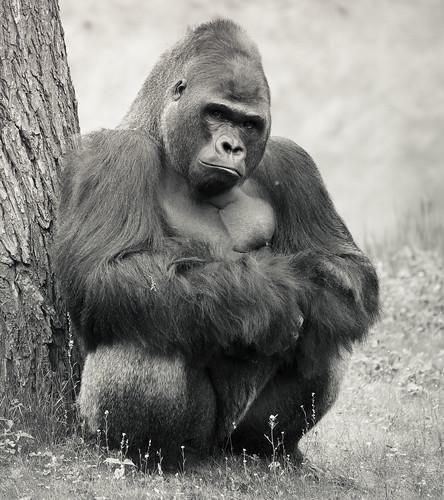 フリー写真素材, 動物, 哺乳類, ヒト科, ゴリラ, モノクロ写真,