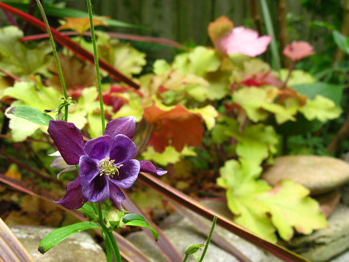 Aquilegia and HOY-ker-a, a happy accident.