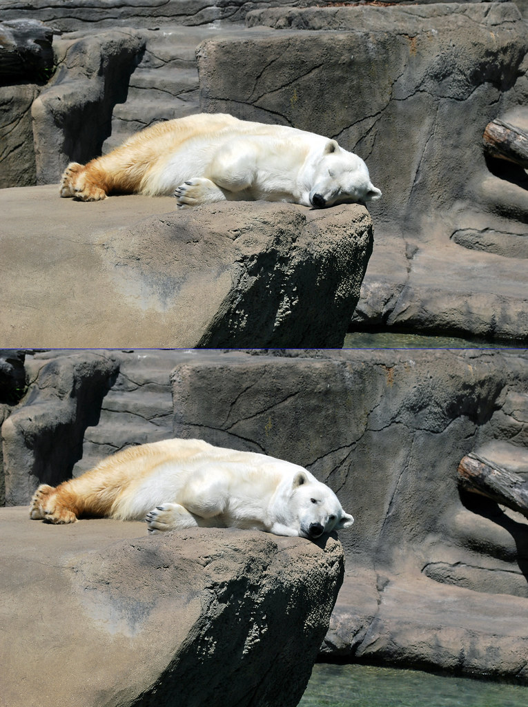 Zoo Polar bear