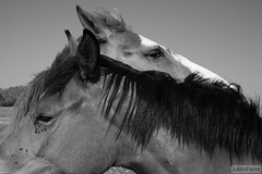 cavallo @Xirocourt (iJuliAn) Tags: horse cheval 50mm lorraine cavalli cavallo chevaux xirocourt harou ijulian