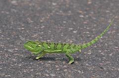 Out of gray camouflage (Hans & Liek) Tags: southafrica wildlife chameleon krugerpark kruger kameleon zuidafrika greenchameleon groenekameleon