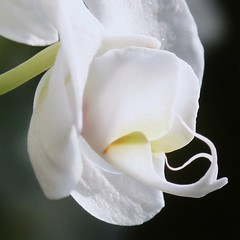 White Orchid (Cajaflez) Tags: white orchid flower macro orchidee wit bloem topshots theunforgettablepictures natureselegantshots awesomeblossoms saariysqualitypictures