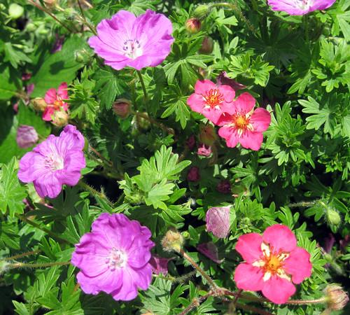 """Geranium sanguinium """"Max Frei"""" & wild strawberries"""