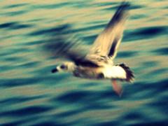 (Holly Alissa Hewitt) Tags: longexposure sea speed canon flying waves gull softfocus