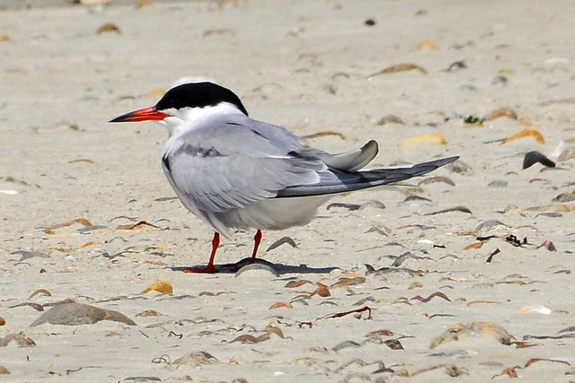Handsome Common Tern