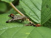 Scorpion Fly feeding (Megashorts) Tags: uk macro nature 35mm bug insect fly flying miltonkeynes feeding eating wildlife buckinghamshire flash olympus creepy e3 zuiko crawly tattenhoe scorpionfly zd fl36 westcroft offcamera 35mmmacro35 flcb05 cb05 ppdcb4