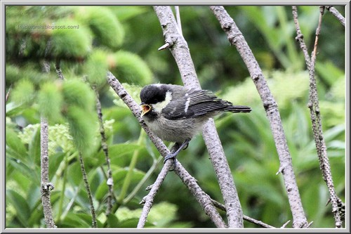 Fledgeling Coal Tit