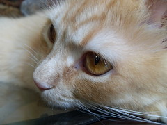 Deep Thought (ZoeTaylor) Tags: orange eye closeup cat gold golden amber eyes feline looking close kitty dreaming thinking gazing gaze