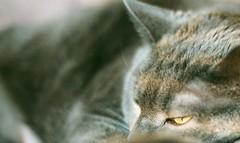 Untitled (John-F) Tags: cats felines russianbluecat olympusom1md zuiko50mm118