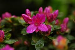 Azalea droplets (vanstaffs) Tags: flower flora azalea anawesomeshot
