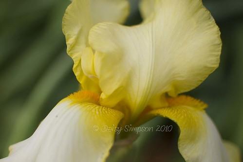 284 backyard iris