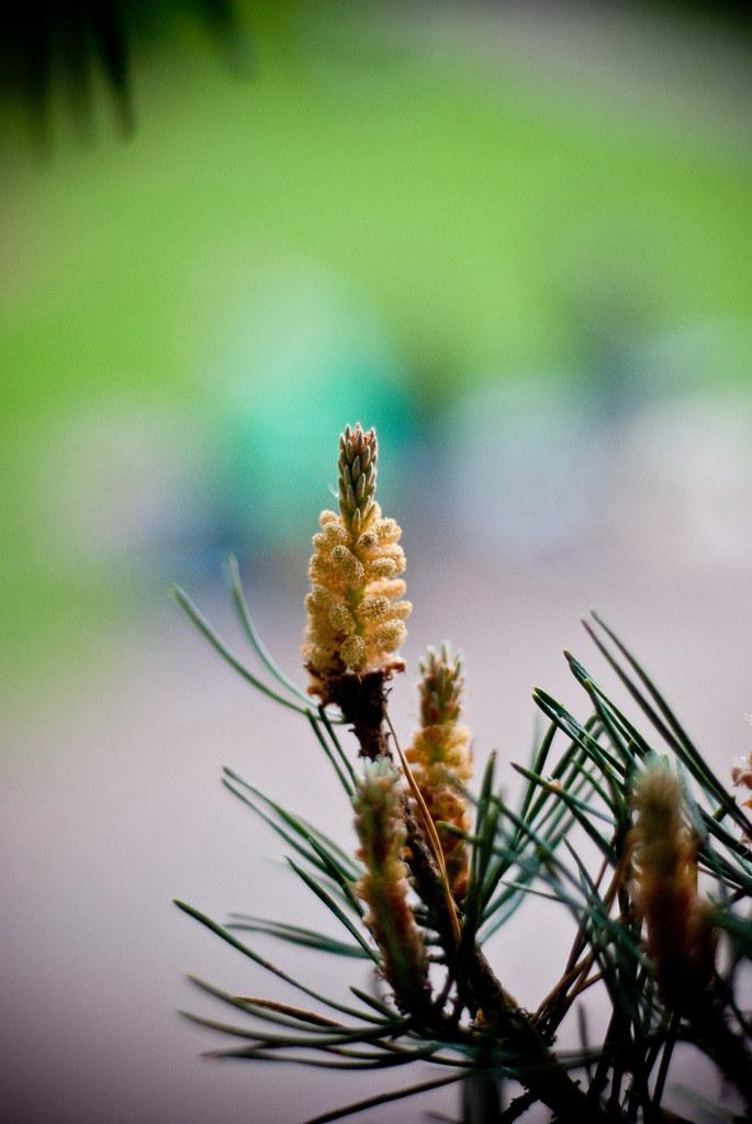 310510_ pine #2