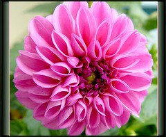 Delightful Dahlia (McDuck17) Tags: pink dahlia flower nature blooms bej masterphotos awesomeflowers thesuperbmasterpiece m