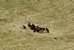 Urubu rei comendo (Sarcoramphus papa) King Vulture (Leandro - Franca) Tags: king sony preto sp da papa sacramento vulture alpha serra a200 leandro franca rei canastra urubu alimentando comendo carcaa peixoto sarcoramphus carnia carnissa