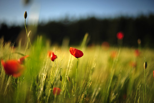 Poppies in a Field by tylerkellen, on Flickr
