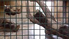 Panther (Frank Hambach) Tags: berlin zoo friedrichsfelde tierpark panther alfredbrehmhaus