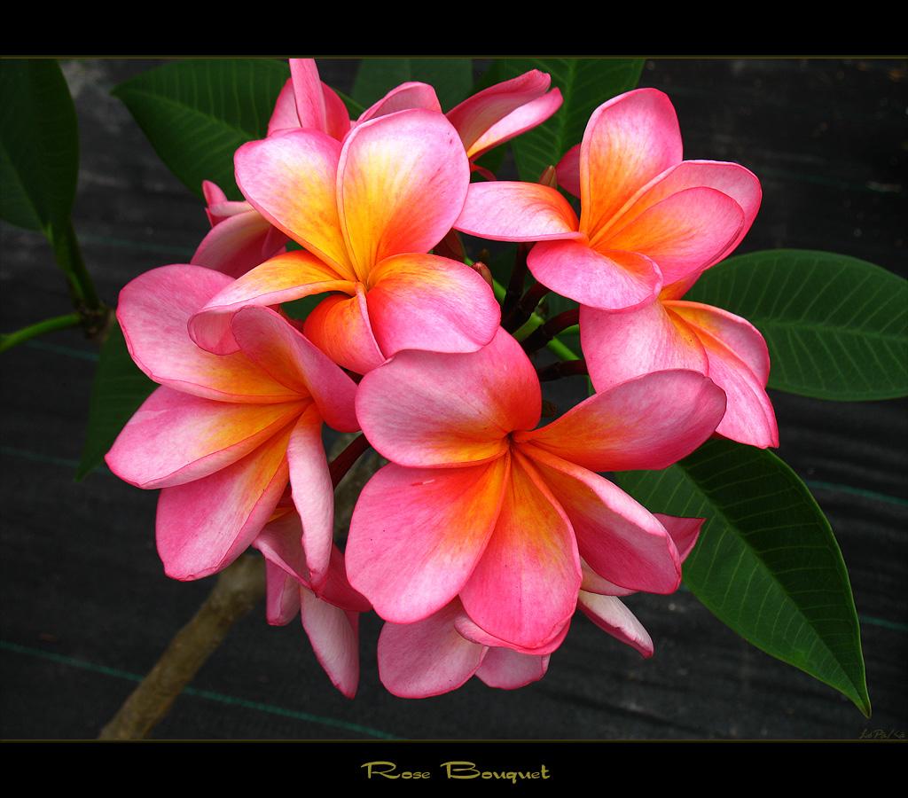 Australia Flowers - The Plumeria Rose Bouquet