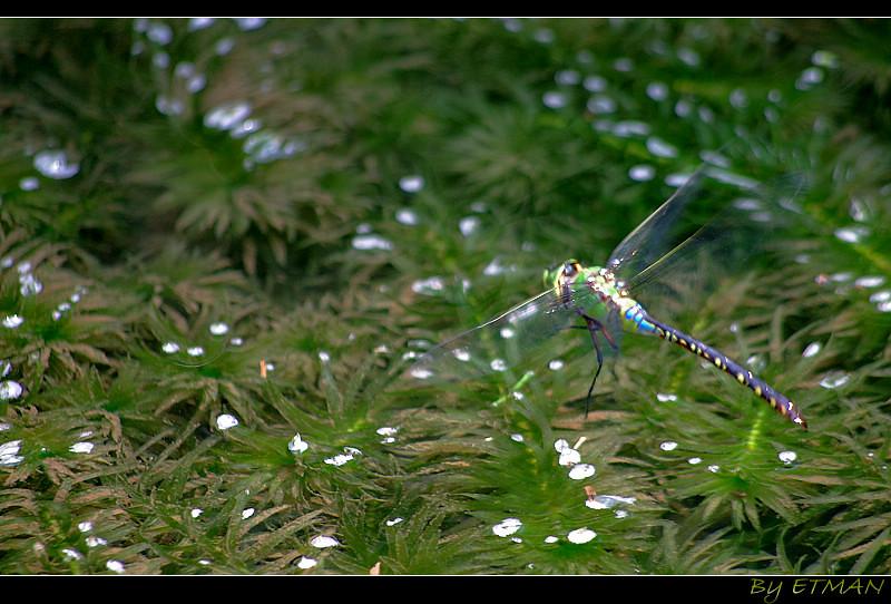 飛呀~麻斑宴蜓