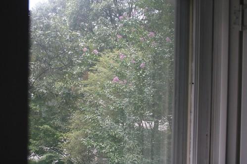 Ooh, crape myrtle's blooming!