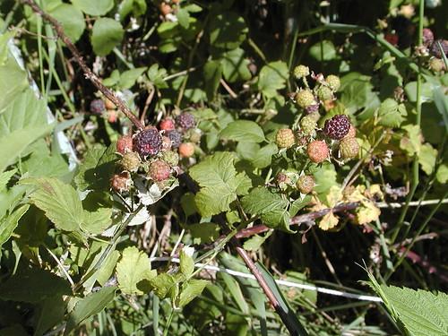 raspberries06-09-10