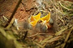 Chicks / Pintos (Tiago Cabral) Tags: nest ninho chicks pintos