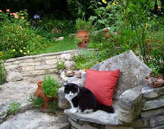 Sweetheart posing in the stone chair on limestone ledge (pawightm (Patricia)) Tags: austin texas aquilegia tuxedocat sweetheart blackandwhitecat texashillcountry centraltexas limestonewall mixedborder backyardborder tropicanarose volunteersunflowers strawberryjars livineasyrose pawightm limestoneledge nativestoneretainingwall yellowvictoryrose herbsinstrawberryjars limestonerusticchair satsumamrmac agapanthusmidnight terracottaclaystrawberryjars