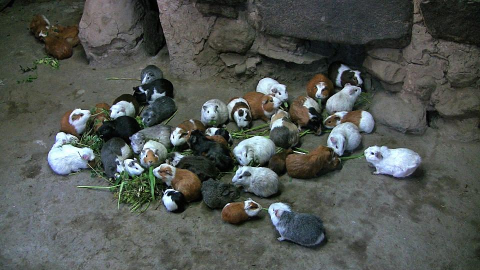 cuy-ollantaytambo