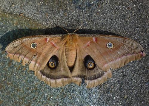 polyphemus moth #1