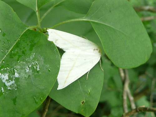 White moth on lilac leaves