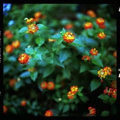 (19/77) Tags: flower slr film nature malaysia 1977 negativescan kiev88 lantanacamara mediumfromat kodakektacolorpro160 autaut canoscan8800f arsat80mmf28 myasin