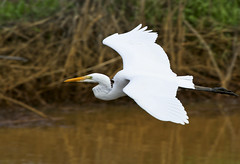 Great Egret Fly-by (Tom in Tacoma) Tags: bird birds canon sensational egret greategret birdwatcher citrit canon7d welovebirds dragondaggerphoto dragondaggeraward