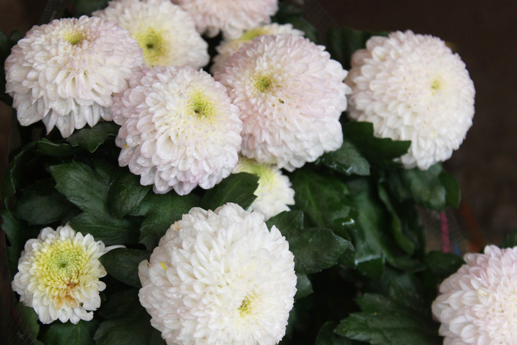 Yanaka Chrysanthemum Festival (5)