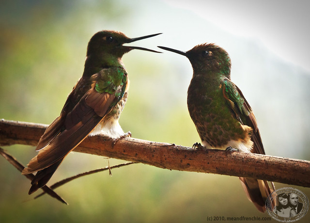 Social Hummingbirds