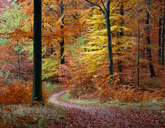 Yet another path in the autumn forest! (Ingrid0804) Tags: wood autumn trees fall forest denmark path autumncolours fallcolours 100commentgroup saariysqualitypictures
