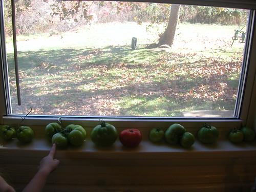Nov 3 2010 tomatoes